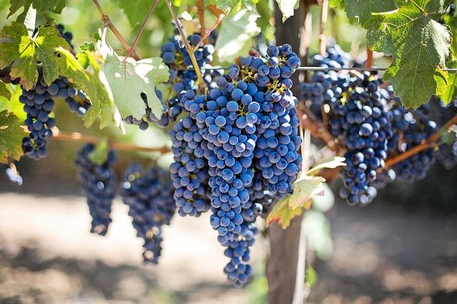 Frutas de temporada - Uva